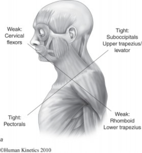 muscular image of upper chest and neck